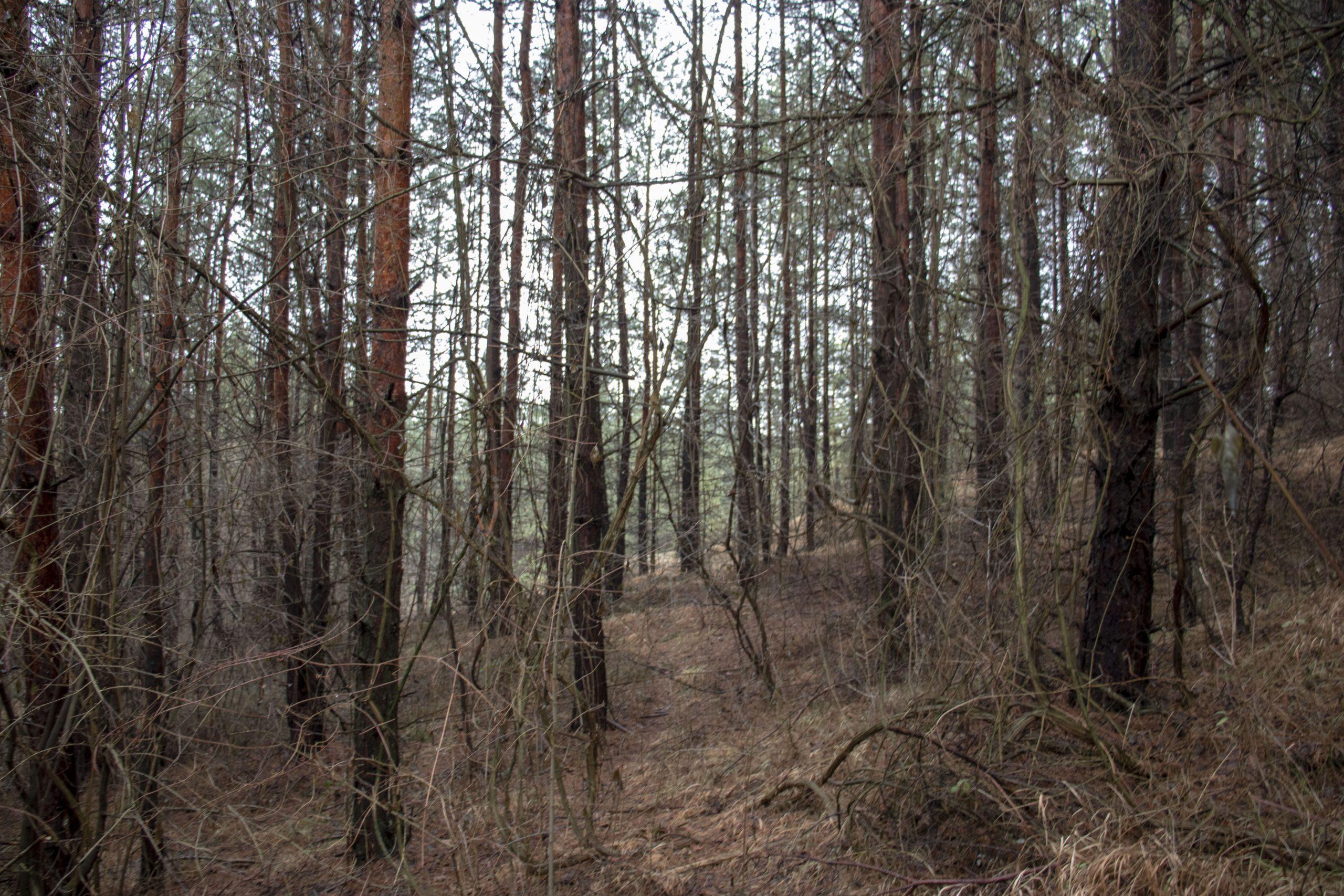Šumska staza kroz bijele borove